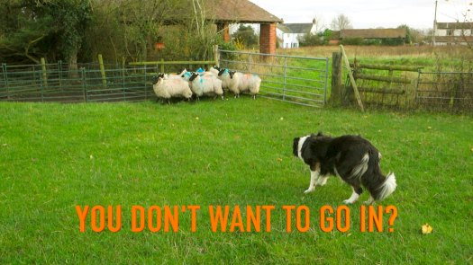 A good sheepdog at work demonstrating how to get sheep into a pen