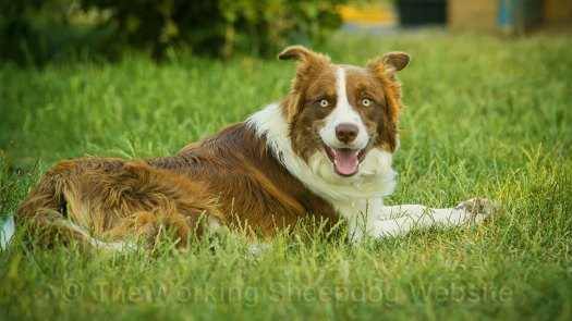 Close up photo of a rough coated red and white ISDS registered working sheepdog, Buff