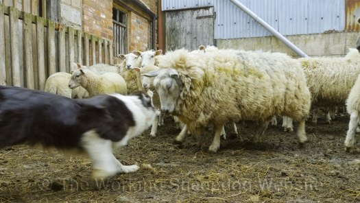 A ewe tried to attack Bronwen, but she very quickly bit the sheep on its nose to send it away