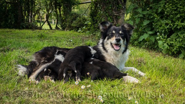 Photo of Bronwen lying on the lawn looking happy while her puppies are feeding from her