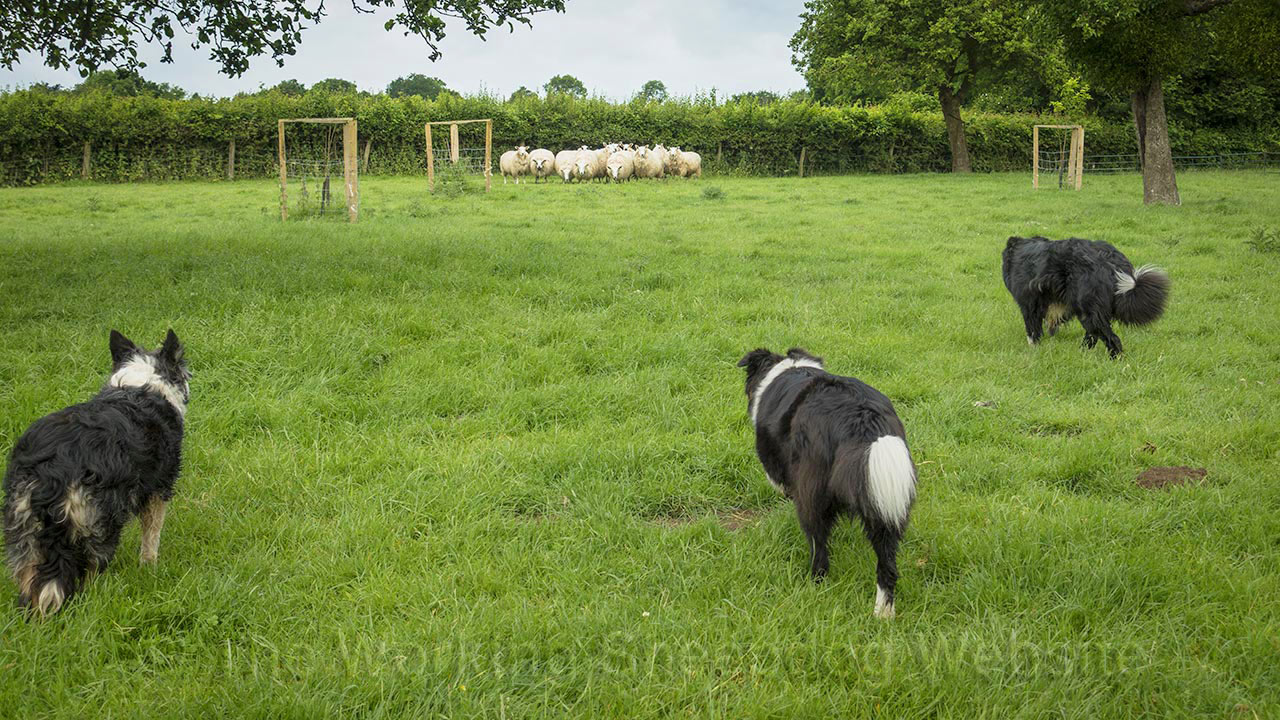 Photo of three herding sheepdogs walking up on a group of sheep