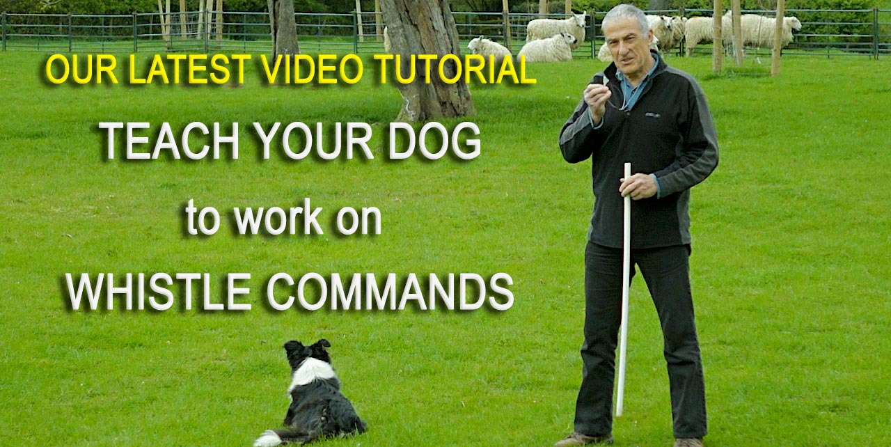 Teach your dog to work on whistle commands