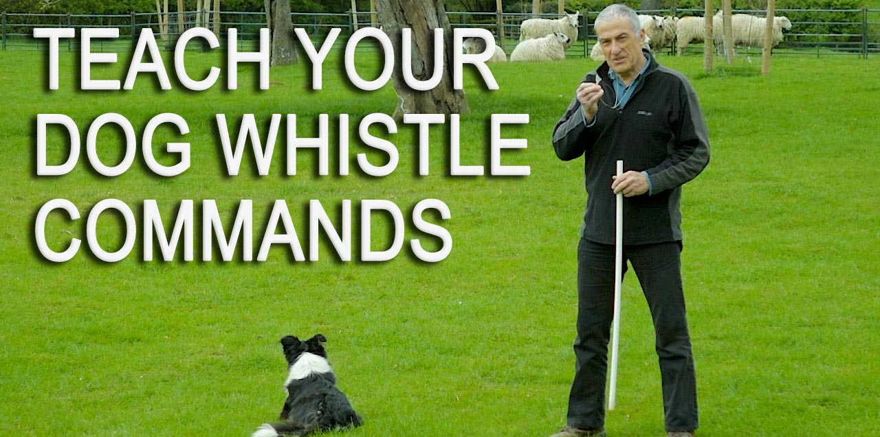 How to teach your herding dog to work on whistle commands