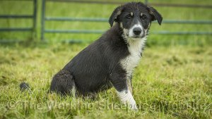 Smooth coated sheepdog puppy