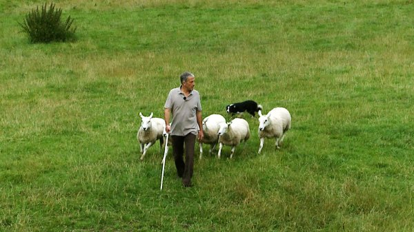 Photo of a sheepdog trainer walking towards the camera with a dog bringing five sheep up behind him