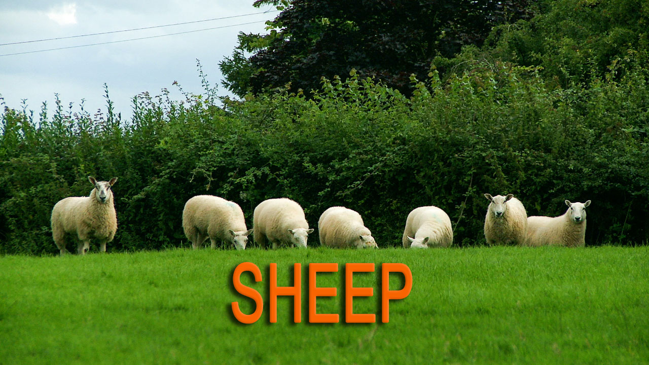 The title image for our sheepdog training tutorial. Showing seven sheep in a line near a hedge.