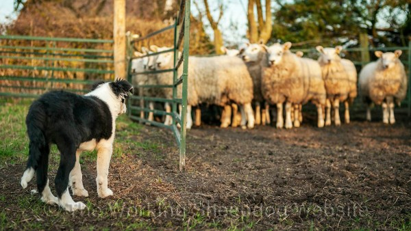 The essentials of sheepdog puppy training