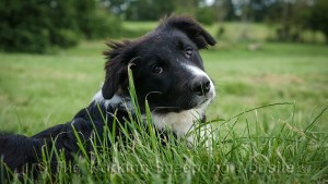 Black and white kennel club registered border collie bitch