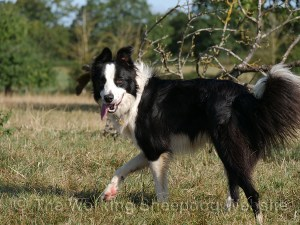 Rough coated black and white border collie - sheepdog and family pet.