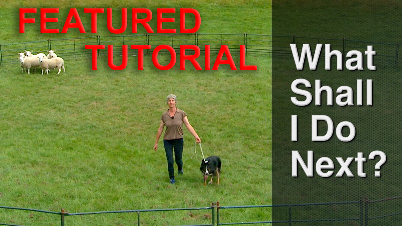 Title image for our sheepdog training tutorial - What Shall I do Next?