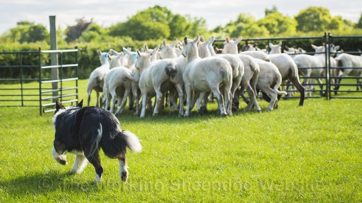 Sheepdog driving sheep into a paddock