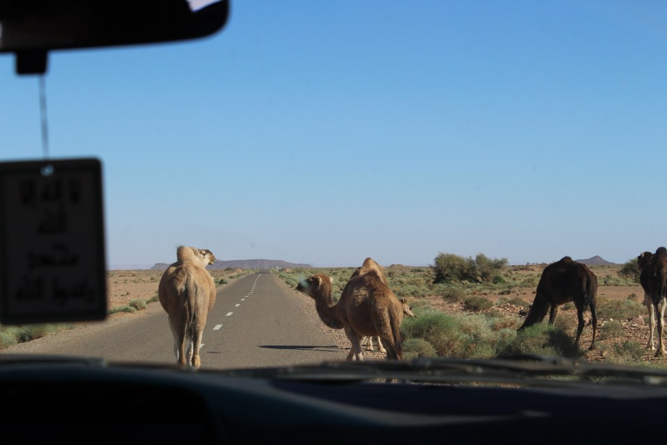 Camels on the road