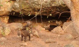 Hyena cubs.