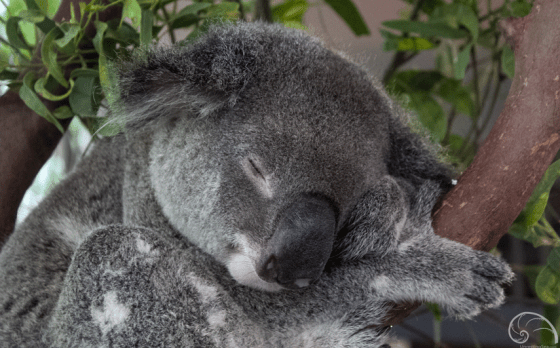 """Fun Fact: Did you know that """"koala"""" is the aboriginal word for """"no drink""""? Because koalas feed on eucalypt leaves with a high moisture level, they usually don't need to drink water!"""