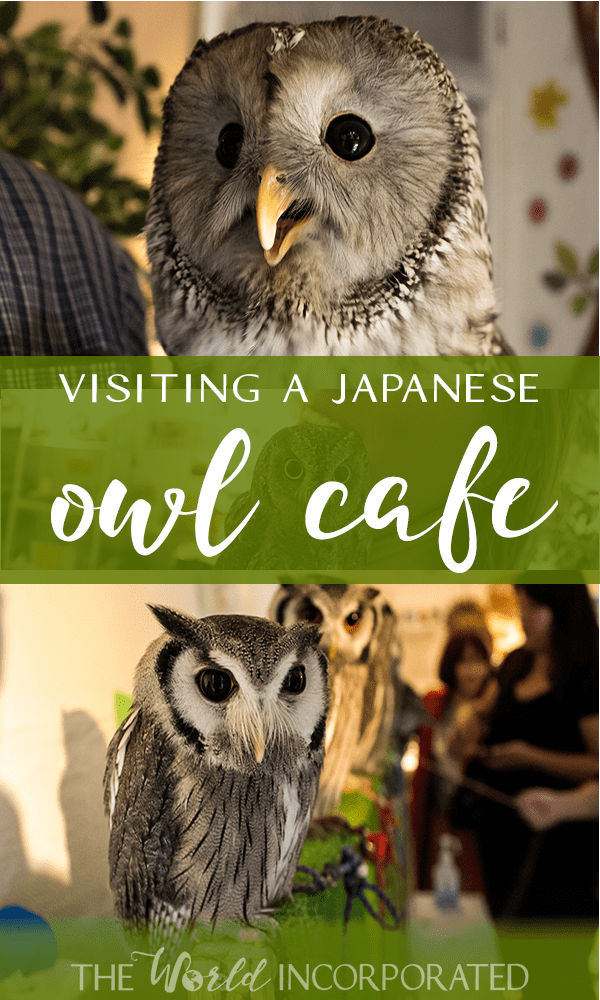 Owl Cafe in Japan, visiting a Japanese owl cafe, pinnable image