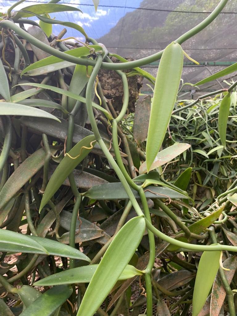 Tahitian vanilla plant