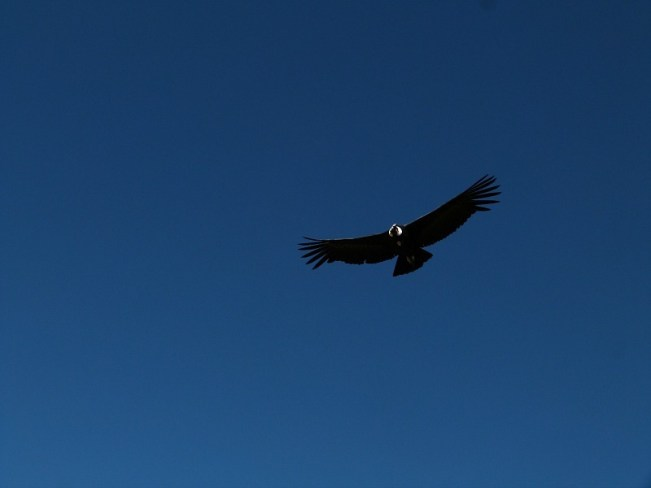Andean Condor in the Colca Canyon, Peru