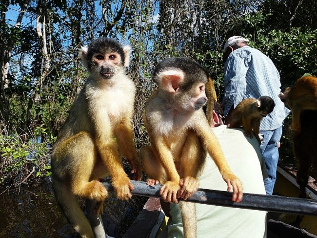Squirrel Monkeys in the Amazon Basin of Bolivia