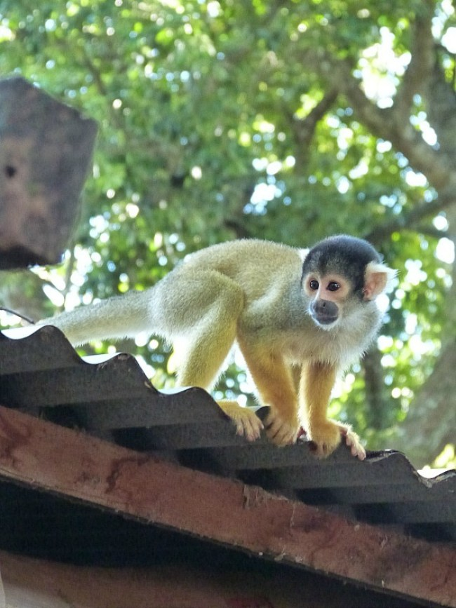 Squirrel Monkey in the Amazon Basin of Bolivia