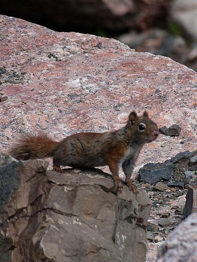 Curious squirrel in Cape Breton Highlands National Park, Nova Scotia