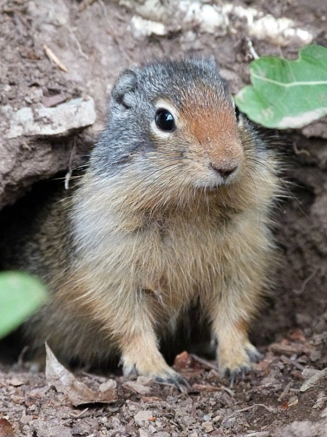 Ground squirrel in Glacier National Park in Montana - a Rocky Mountain Road Trip must