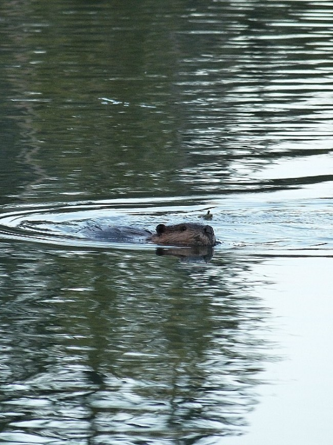 Beaver at Shuswap Lake in British Columbia, Canada