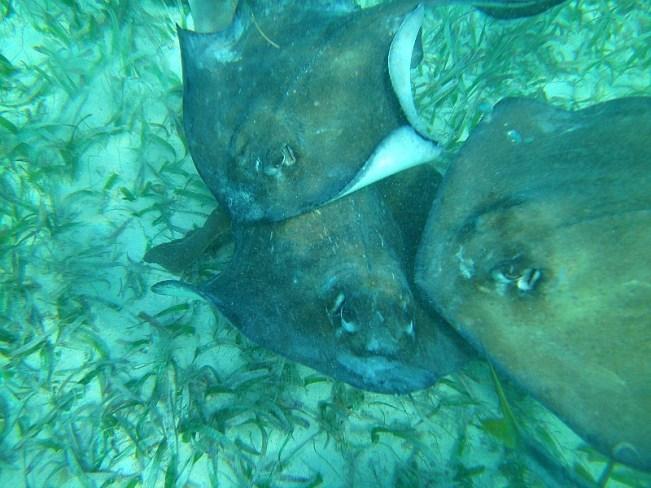 Stingrays on a snorkeling tour of Belize Barrier Reef off Caye Caulker