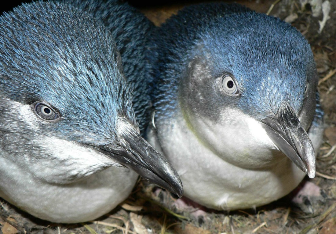 Blue Penguins in Manly, Australia