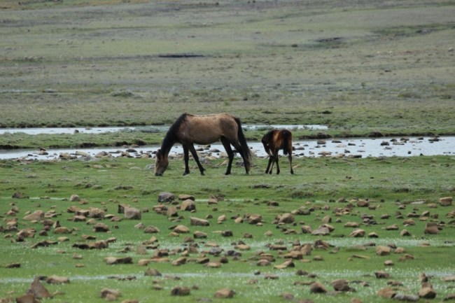 Horses around Sani Top in Lesotho