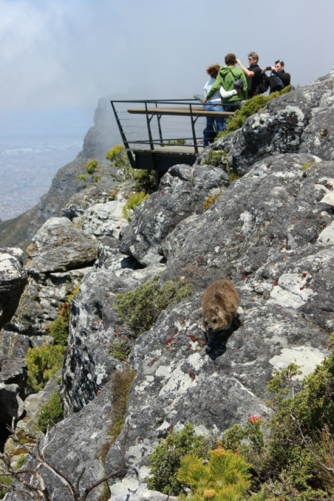 Cute dassie at the top of Table Mountain in Cape Town