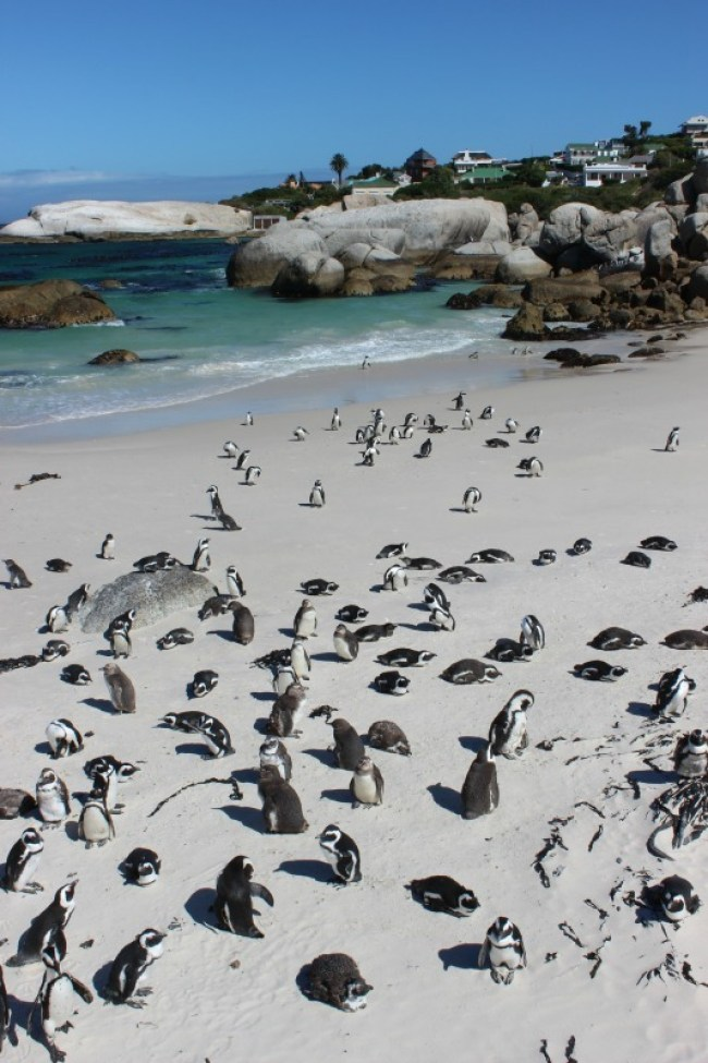 Visiting the Boulders Beach penguins in Simons Town - one of the best day trips from Cape Town