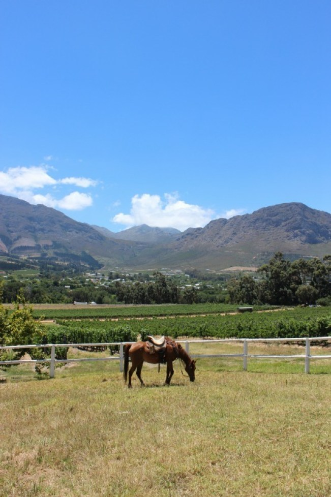 Horses at Mont Rochelle Winery in the Cape Winelands