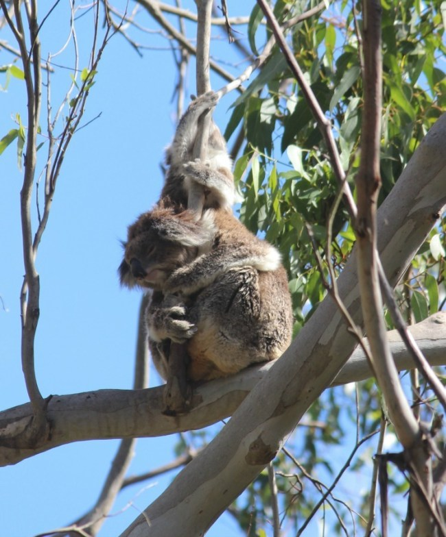 Koalas in Great Otway National Park on Australia's Great Ocean Road