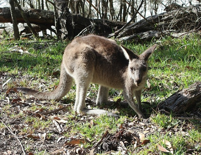 Kangaroo at Jervis Bay