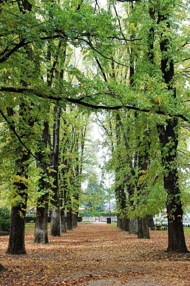 Avenue of trees in Cook Park in Orange NSW