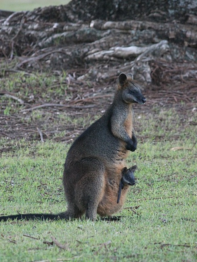 Wallaby and baby in the Basin - the Basin hike is one of the best Sydney walks