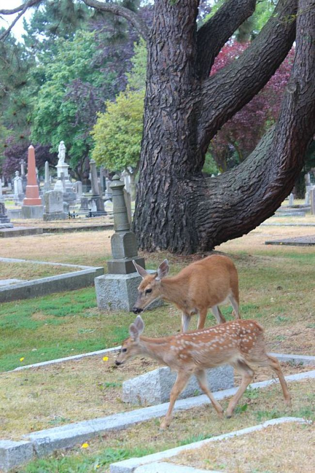 Deer in Ross Bay Cemetery in Victoria, Canada