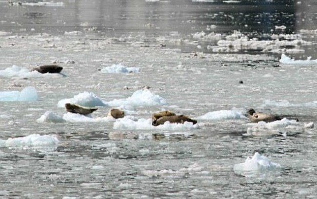 Seals on icebergs in Northwestern Fjord Glacier in Kenai Fjords National Park, Alaska