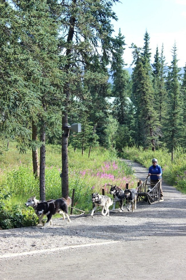 Sled dog demonstration in Denali National Park