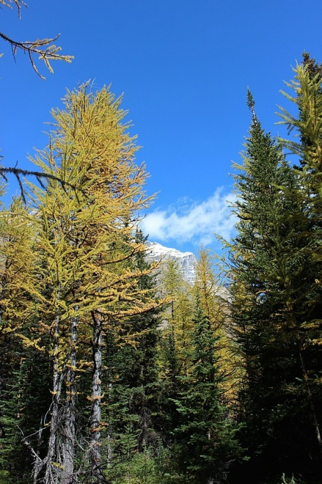 Autumn Larches on the best fall hike in Banff National Park