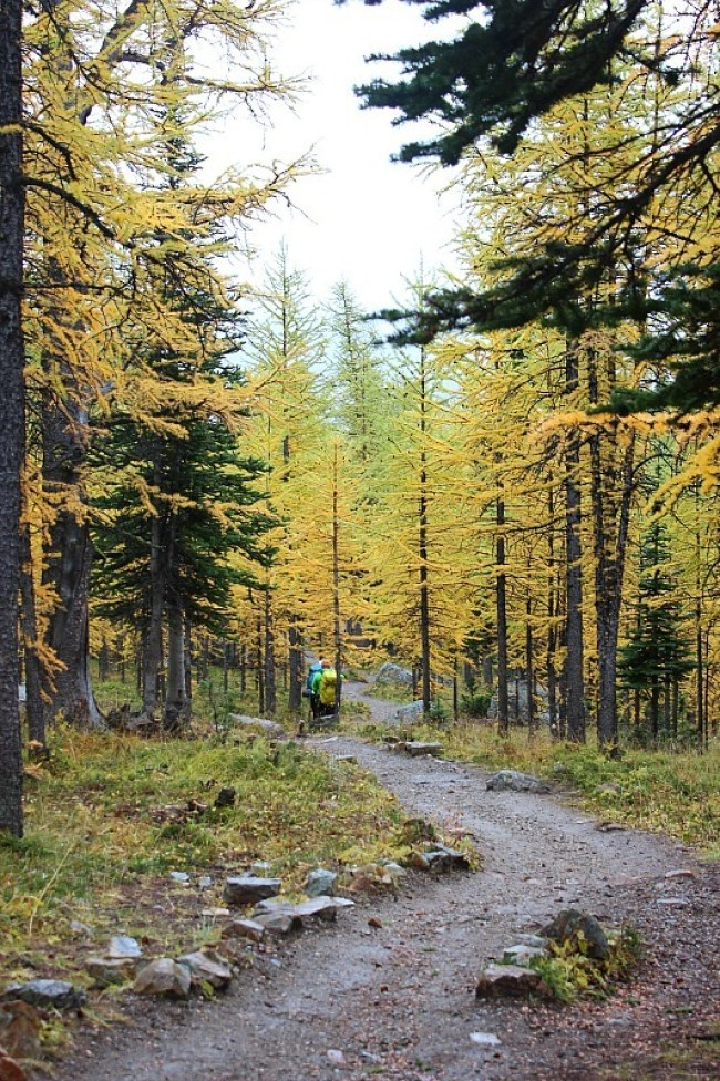 Golden larches along the trail of the best fall hike in Banff National Park