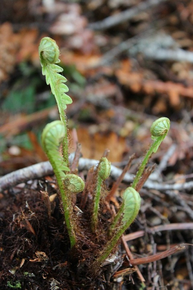 Native fern fronds on the Kepler Track