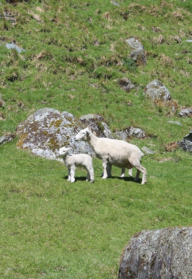 Newborn lamb and mum in Mount Aspiring National Park