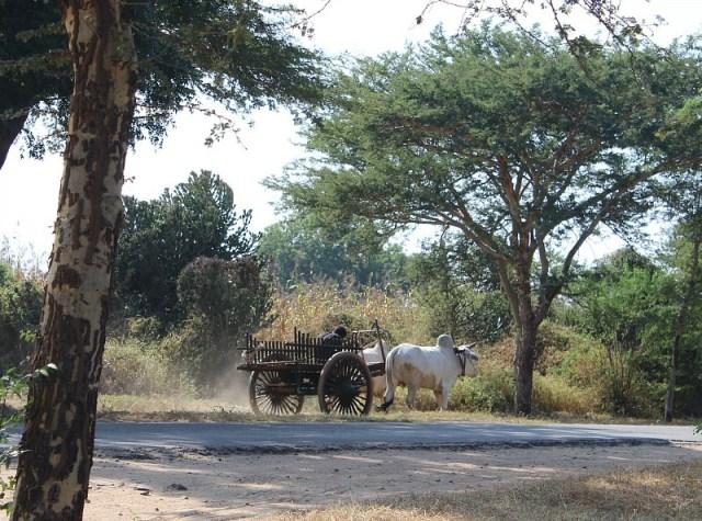 Buffalo and cart outside Bagan pagodas