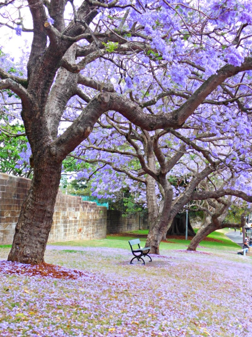 On the hunt for Jacarandas in Sydney during month twenty nine of Digital Nomad Life