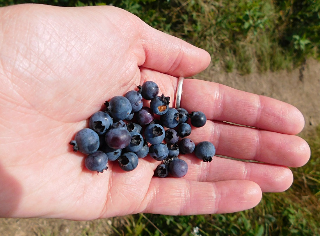 Picking wild blueberries on a North Carolina hike during month thirty eight of Digital Nomad Life