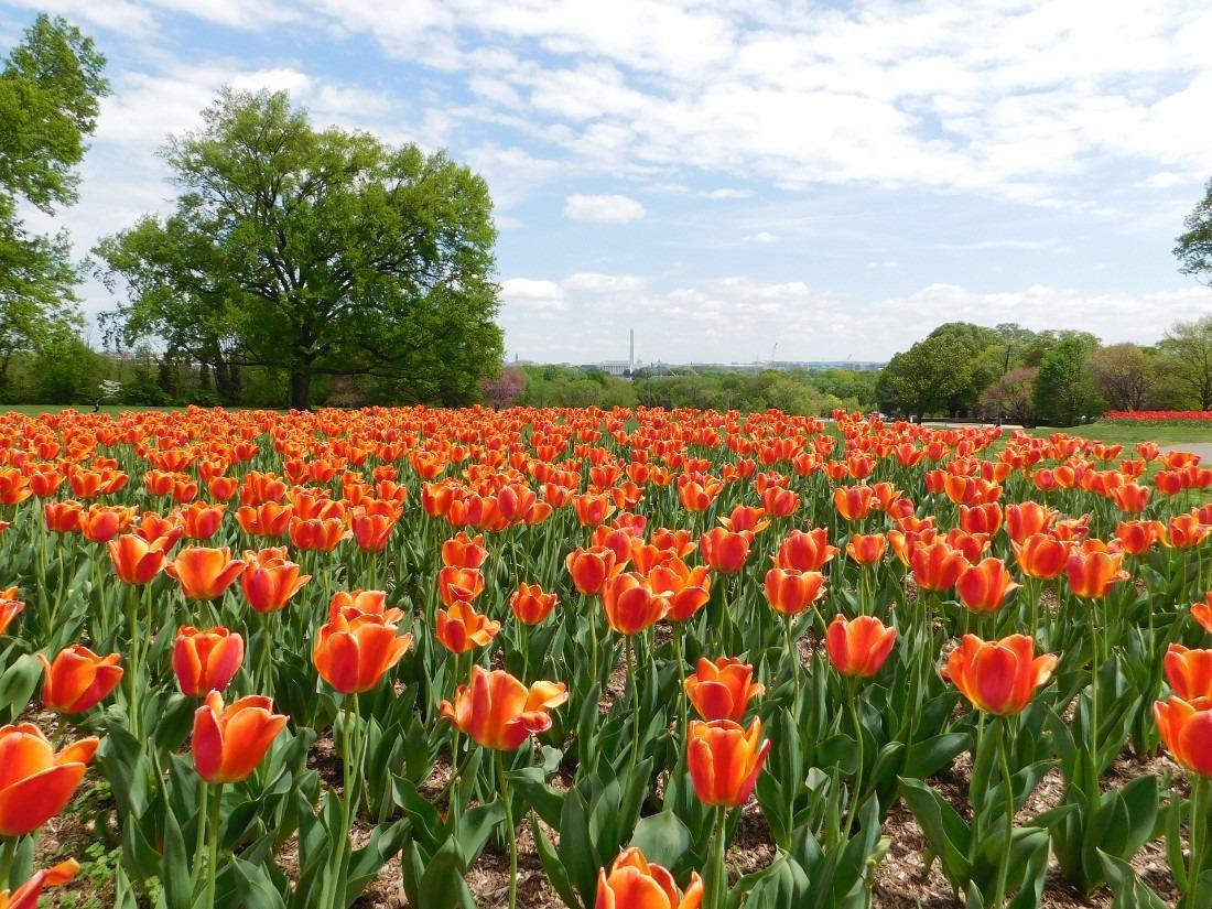 Tulips in Washington D.C.