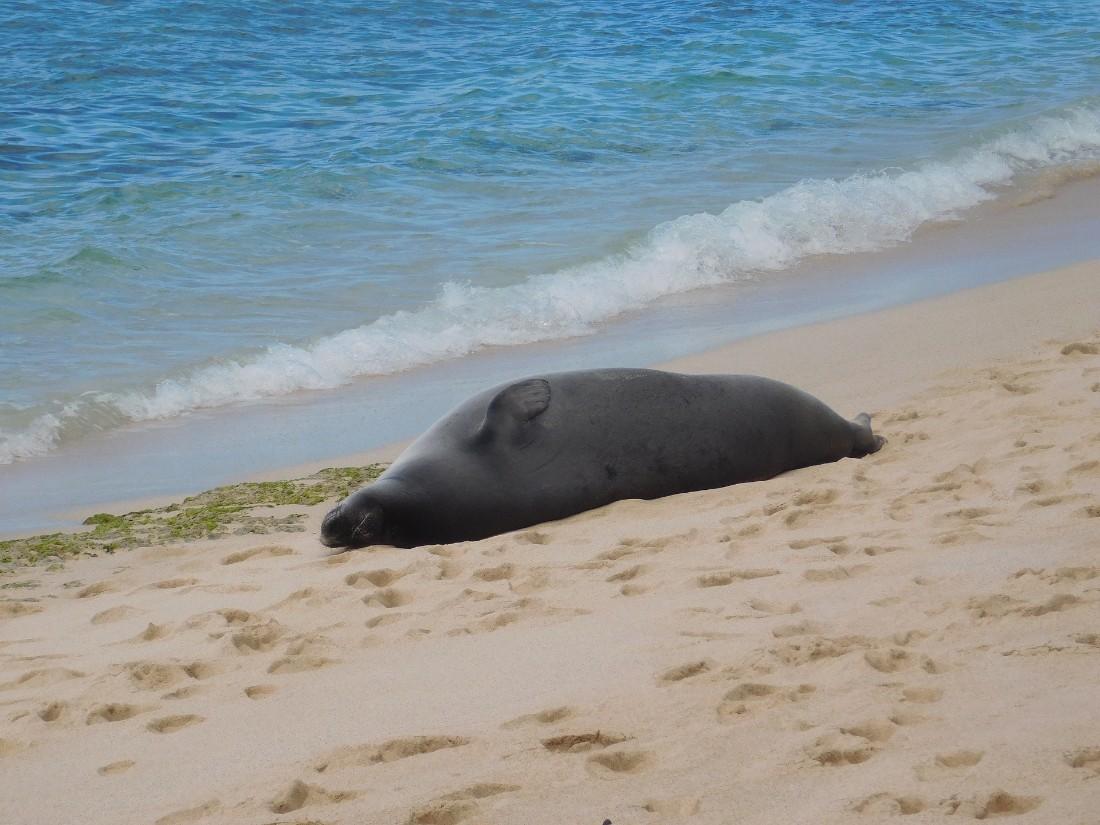 Endangered monk seal on the Big Island