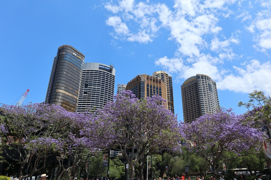 Jacaranda trees in Sydney