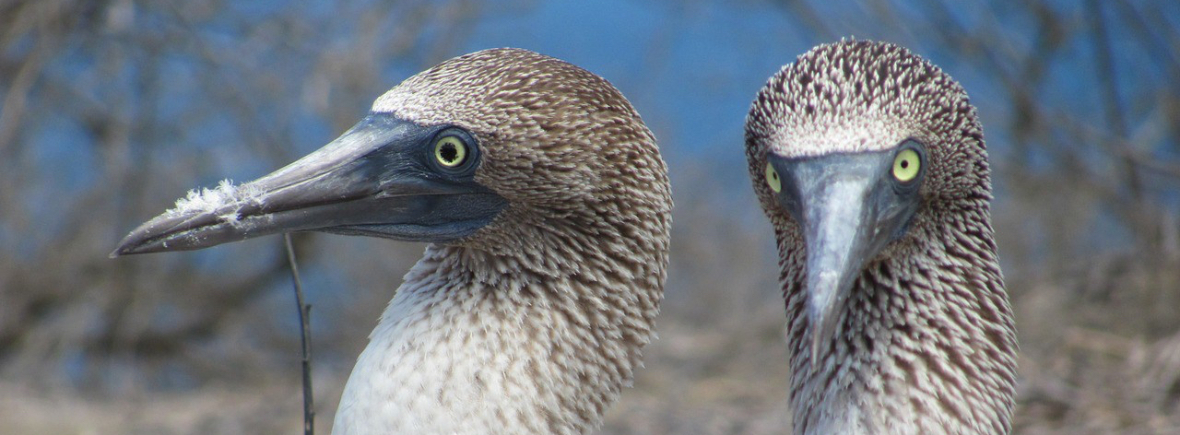 Best places to see blue-footed boobies, WildSide, World Wild Web